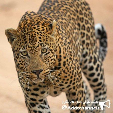 کانال تصاویر و کلیپهای حیات وحش