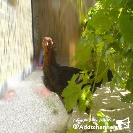 کانال مرغ و خروس خانگی