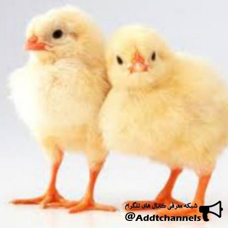 کانال مرغداران ایران